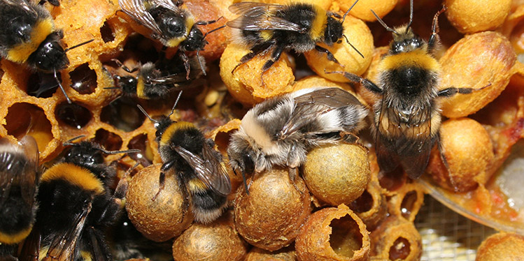 Bumblebee genome mapped (Photo: Ben Sadd)